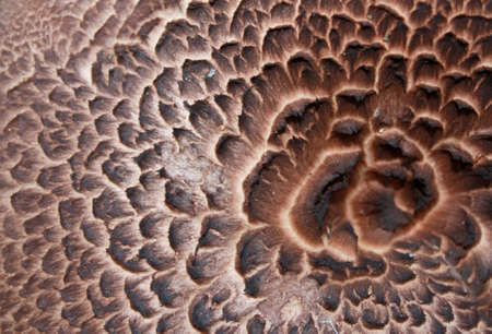 Texture of mushroom Sarcodon imbricatus  Stock Photo