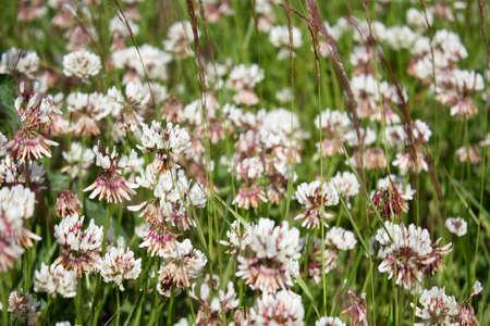 trifolium repens: Flowers of Trifolium repens  Stock Photo