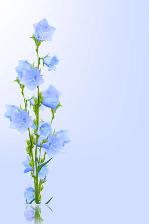 bluebells on a blue background