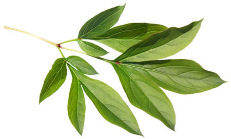 peony: Green fresh leaf of a peony