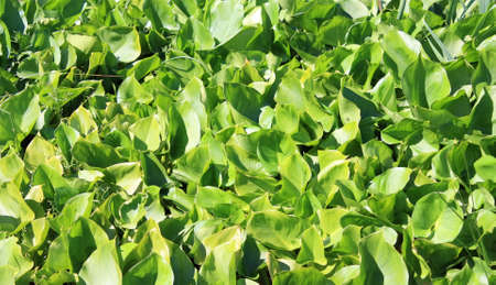 marsh plant: Marsh plant Calla palustric