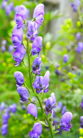Blossoming aconitum close up  Stock Photo