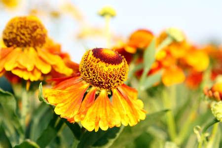 Beautiful yellow-orange helenium   Stock Photo