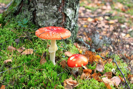Two beautiful red fly agarics