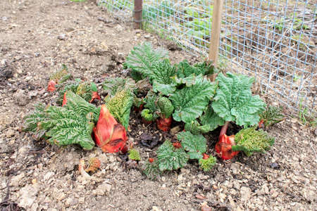 Growing Rhubard in the early spring  Stock Photo