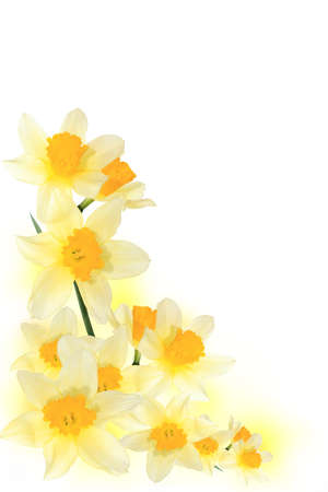 yellow narcissuses