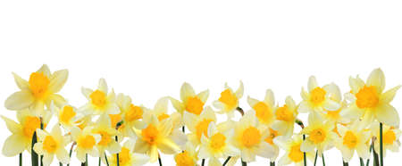border of yellow daffodils  Stock Photo - 10281829