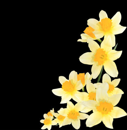 isolated yellow narcissuses   Stock Photo
