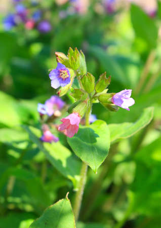 Blossoming herb of pulmonaria obscura  photo