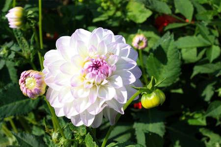Blossoming white dahlia  photo