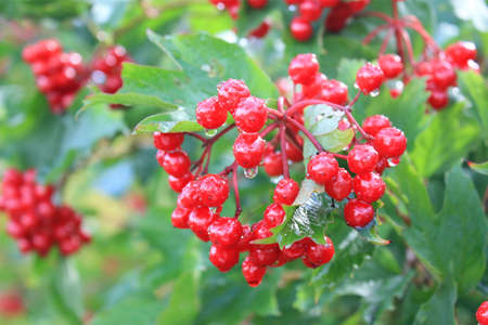 Red ripe berries of a guelder-rose