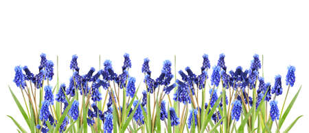 border with blue hyacinths  Stock Photo