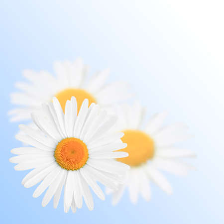 blue background with three camomiles Stock Photo - 10926921