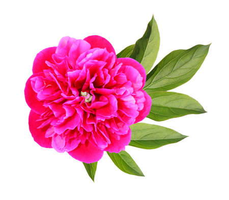 Blossoming pink peony with a leaf  Stock Photo