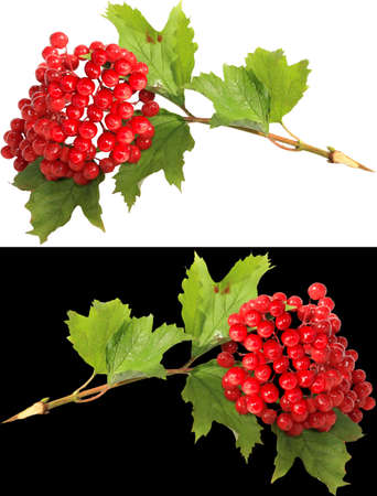 guelder rose berry: branch of a guelder-rose