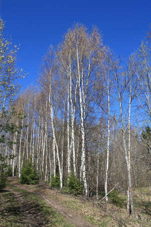 Birch trees in early spring on blue sky background Stock Photo - 14203835
