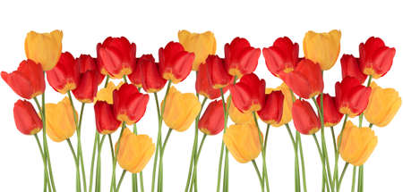 Border blossom tulips isolated on white background photo