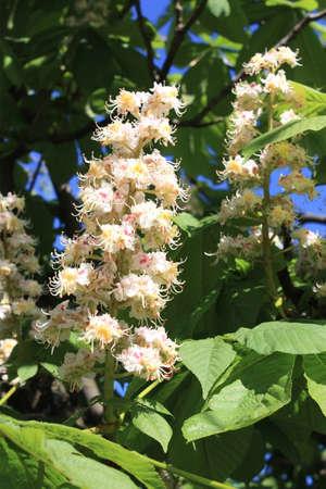 aesculus hippocastanum: Blossom of horse chestnut tree  Aesculus hippocastanum  Stock Photo