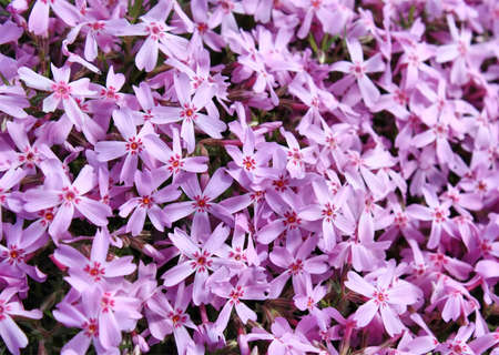 Covered background of many phlox flowers close up