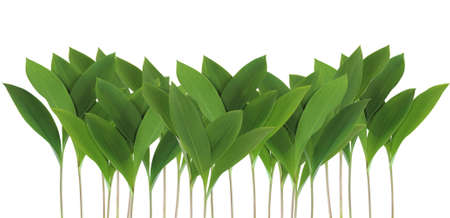 Border of green leaves lily of the valley isolated on white background photo