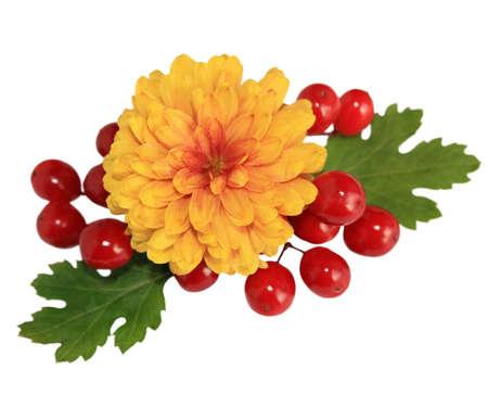 Orange chrysanthemum with red berries of Viburnum isolated on white background