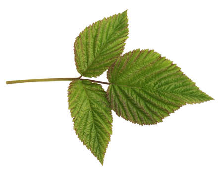 Fresh green leaf of raspberry isolated on a white background