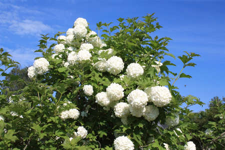 guelder: Bush of viburnum with white flowers on a background of blue sky