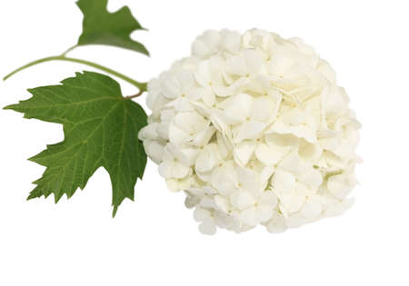 Viburnum branch with white flowers isolated on white background