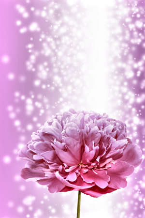 Vertical background with a glow and a single peony flower