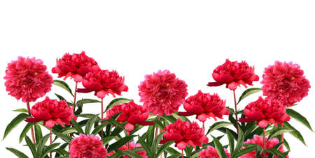 Red peony border isolated on white background Stock Photo