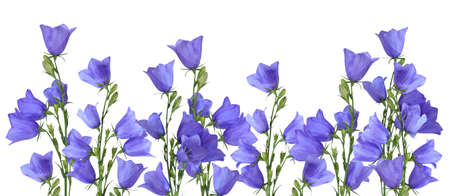 Growing blue bells isolated on white background Stock Photo