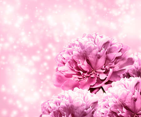 Pink background with a bouquet of blooming peonies