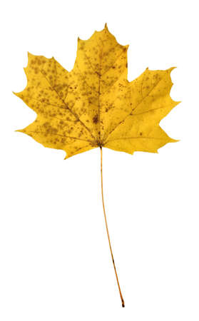 Yellow maple leaf close up isolated on white background