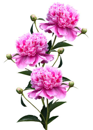 Three pink peony close-up isolated on white background