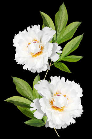 Green branch with two white peonies isolated on black background