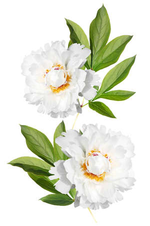 Branch with leaves and flowers two white peonies isolated on white background