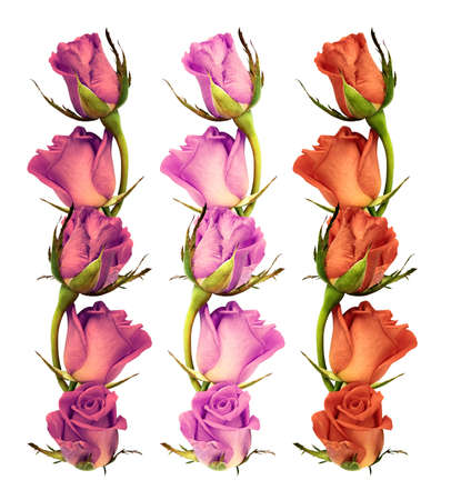 Three colored branches with blooming roses isolated on white background Stock Photo