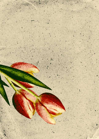 Vintage paper background with three red tulips