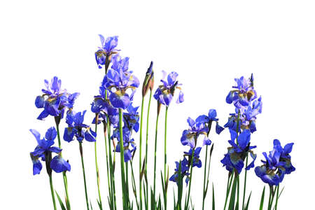 Blooming blue iris isolated on white background