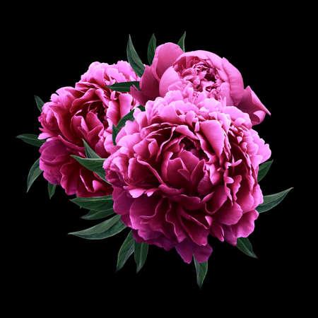 Roze pioenen close up geïsoleerd op een zwarte achtergrond