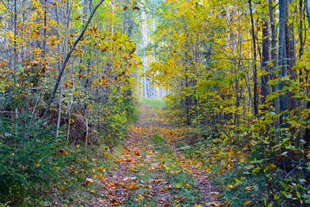 Autumn forest landscape with old road with fallen down leaves Stock Photo