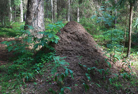 The big ant hill close up on a background of a dark fir forest