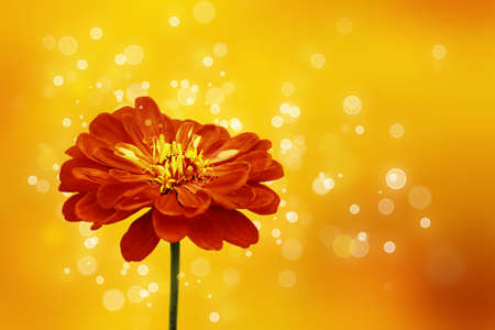Horizontal red and yellow background with one flower of zinnia
