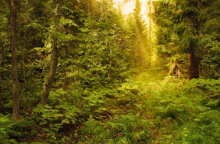 The wild dark forest shined by a sunlight Stock Photo
