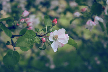 Close up flower of blossoming wild apple-tree Stock Photo