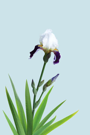 Blossoming single iris on a blue background