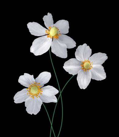 Bouquet of three blooming white anemones isolated on black background Stock Photo