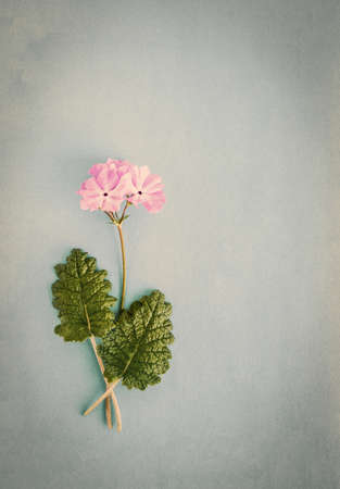 Vintage paper textural background with a blooming pink primrose