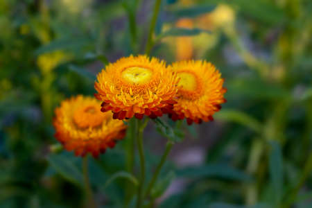 Blooming orange immortelle close-up on a green background