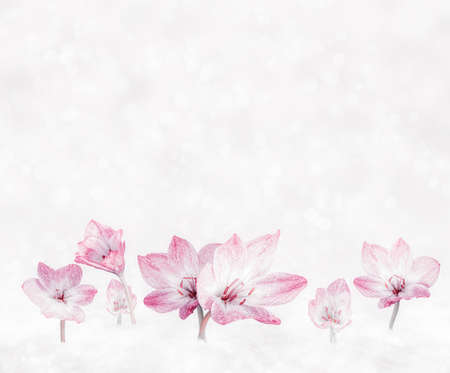 Spring light background with pink crocuses Stock Photo